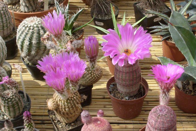 Rainbow Hedgehog Cactus