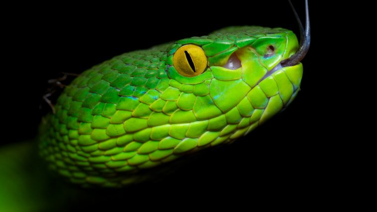 types of vipers worced