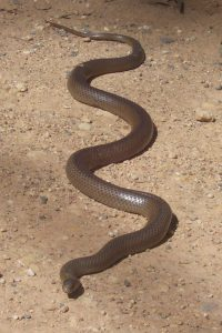 what is the deadliest snake in the world
