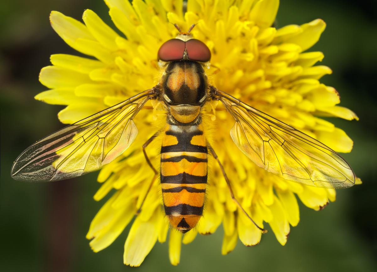 Marmalade Hoverfly 6