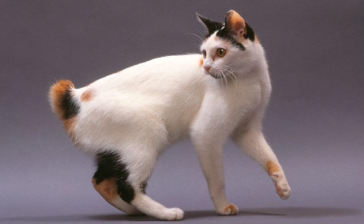bobtail-japones- cat