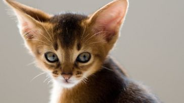cats with big ears worced