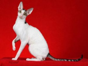cat-cornish-rex