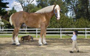 genetic horse