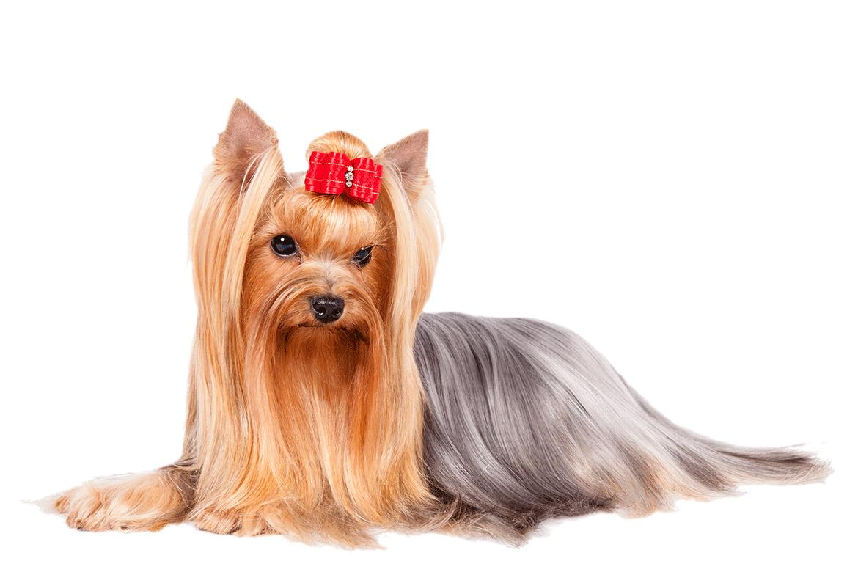 yorkshire-terrier-standard